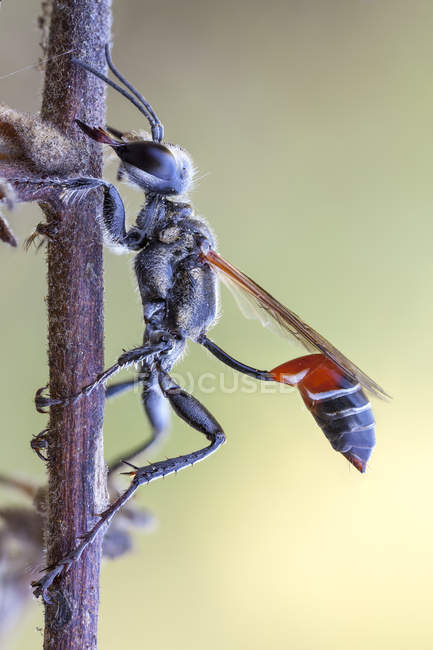 Close-up of thread waisted wasp sitting on plant branch. — Fotografia de Stock