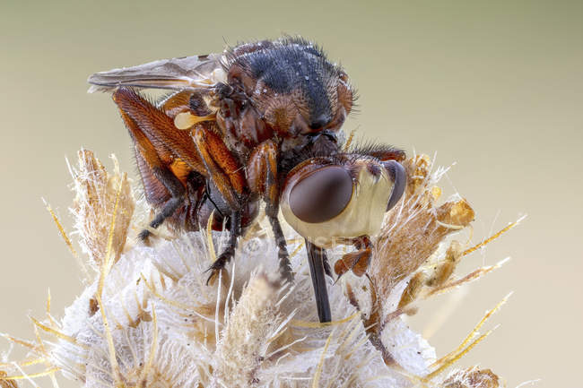 Close-up of thick-headed fly sitting on wildflower. — Fotografia de Stock