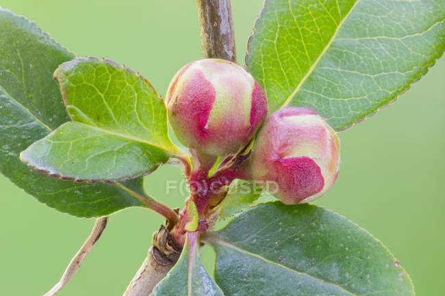 Close-up of Japanese rose buds on plant branch with leaves. — стокове фото