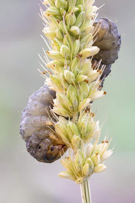 Гусеница ползает по желтой траве . — стоковое фото
