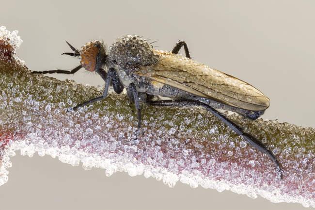 Empid mosca en rama congelada cubierta con cristales de hielo . - foto de stock