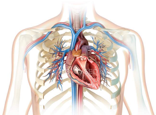 Corte transversal del corazón humano con vasos, árbol bronquial y caja torácica cortada sobre fondo blanco . - foto de stock