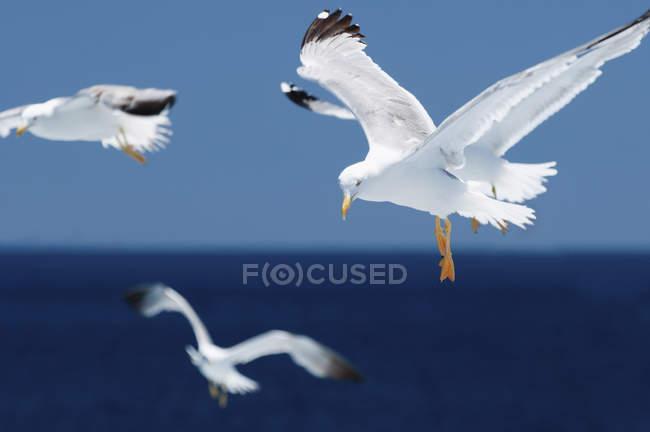 Чайка птахів у польоті з витягнутих крил над морем. — стокове фото