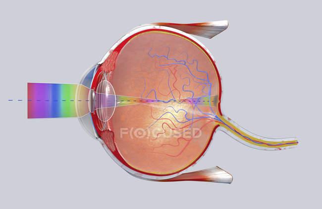 3d ilustración de una sección transversal del ojo humano en una vista lateral . - foto de stock