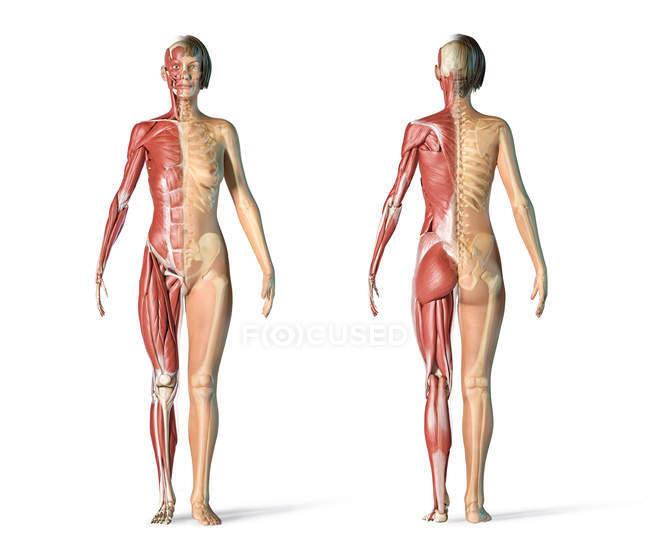 Жіночі скелетні і м'язові системи на білому фоні. — стокове фото