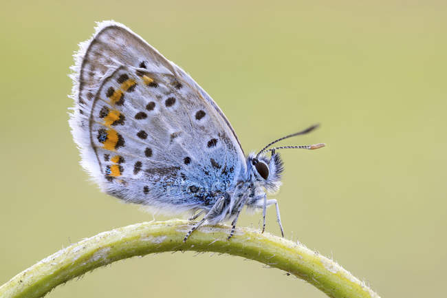 Close-up of Idas blue butterfly on arc shaped stem. — стоковое фото