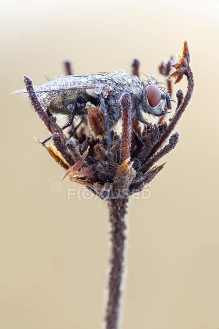 Mosca della carne seduta sul nido in pianta selvatica essiccata. — Foto stock