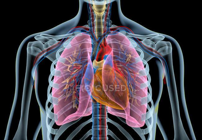 Corazón humano con vasos, pulmones, árbol bronquial y caja torácica cortada en efecto de rayos X sobre fondo negro . - foto de stock