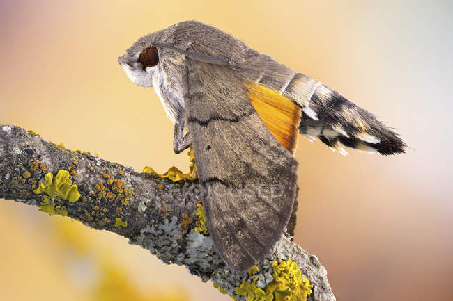 Close-up of hummingbird hawkmoth on lichens covered branch. — Fotografia de Stock