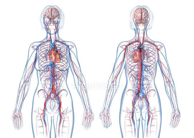 Sistema cardiovascular femenino sobre fondo blanco . - foto de stock