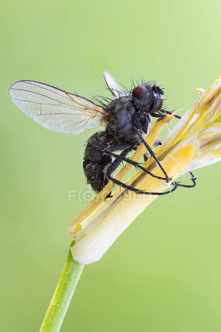 Entomopathogenic fungus growing on fly body. — Stockfoto
