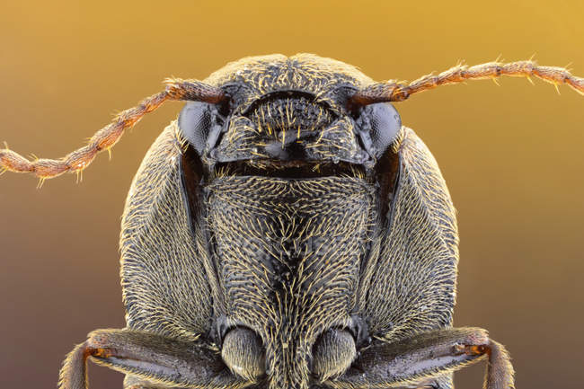 Close-up of click beetle frontal portrait with antennas. — стокове фото