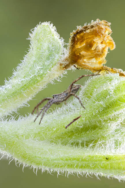 Close-up of nursery web spider on squirting cucumber stem. - foto de stock