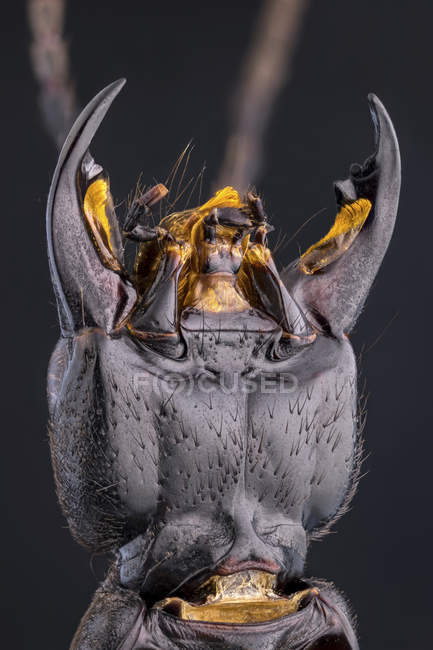 Close-up of devils coach horse beetle with large mandibles. — Foto stock
