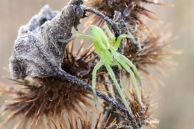 Primo piano di verde vivaio ragno web in posizione di caccia sulla pianta selvatica. — Foto stock