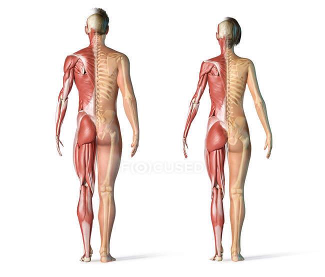 Мужские и женские мышцы и скелетные системы сзади. — стоковое фото