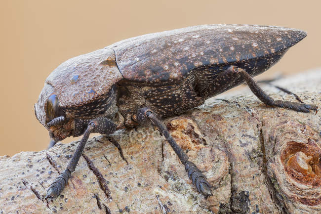 Close-up of brown jewel beetle sitting on branch. - foto de stock
