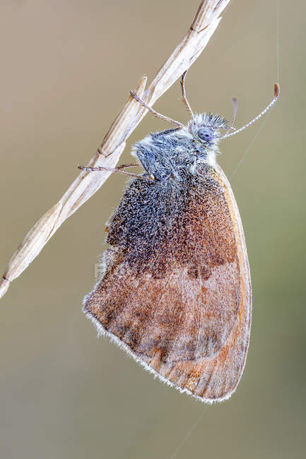 Close-up of small heat butterfly hanging on dried stem. - foto de stock