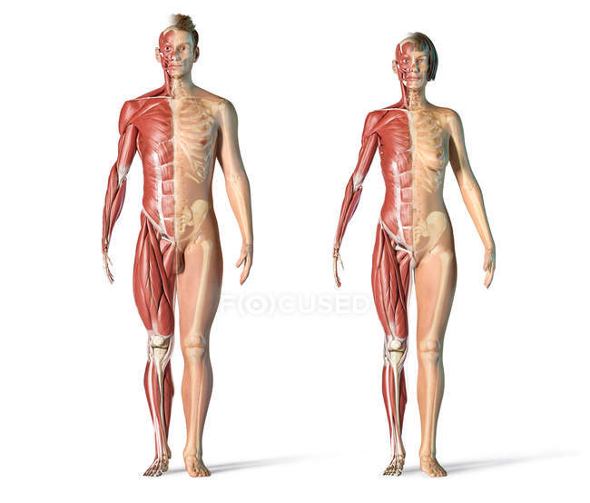 Male and female muscles and skeletal systems in front view. — стокове фото