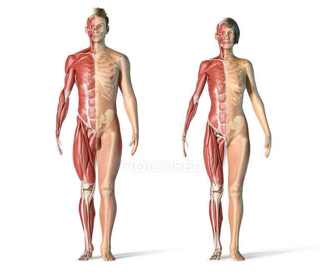 Muscoli maschili e femminili e sistemi scheletrici in vista frontale . — Foto stock