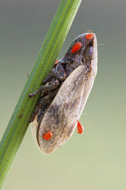 Frog hopper and parasitic red mite nymphs on plant stem. — Stockfoto