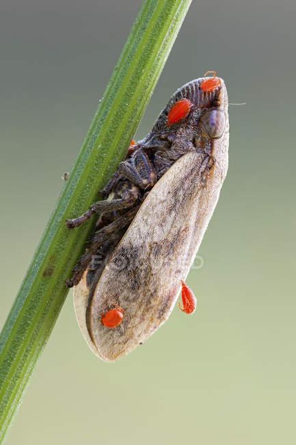 Лягушка бункер и паразитических красных нимф клестя на стебле растений. — стоковое фото