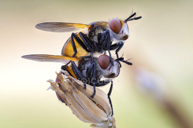 Mating gymnosoma flies mating on wild plant. — стокове фото