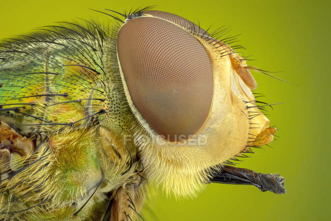 Portrait of colorful blow fly head with eyes, detailed. — Foto stock