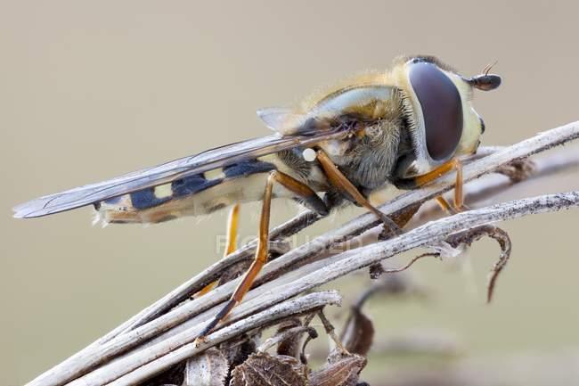 Hoverfly насекомое сидел на сушеных полевых цветов. — стоковое фото