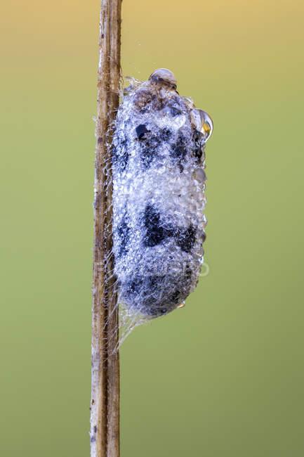 La pupa de Campopleginae couverte par des gouttes de rosée sur la tige. — Photo de stock