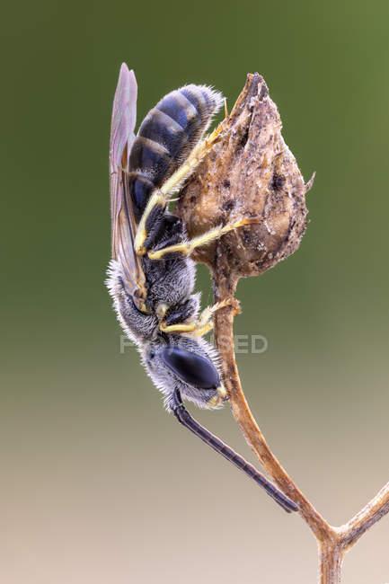 Plan rapproché de l'abeille halictid perchée au dessus de la branche végétale. — Photo de stock