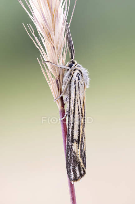 Close-up of grass moth sitting on grass spike. — стокове фото