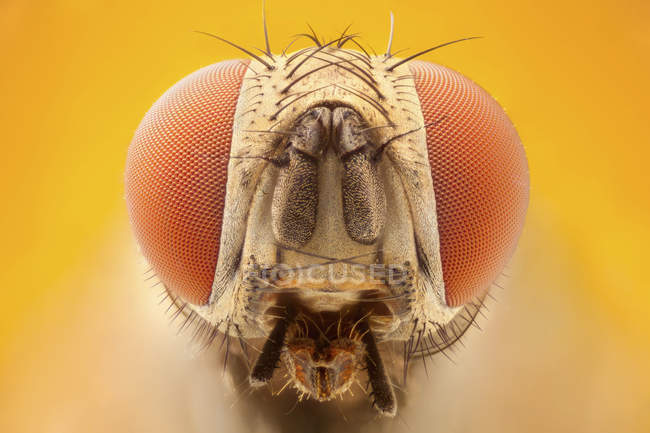 Fly portrait with red compound eyes. — Foto stock
