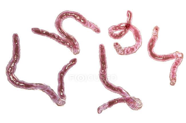 Digitale Illustration parasitärer Hakenwürmer ancylostoma duodenale auf weißem Hintergrund. — Stockfoto