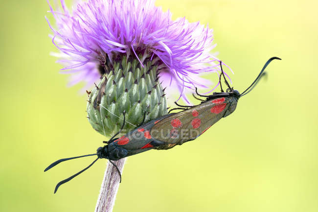 Close-up of mating six spot burnet moths on common thistle flower. — Fotografia de Stock