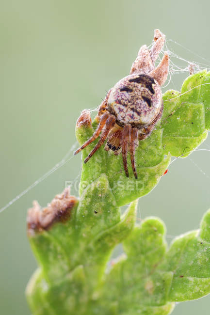 Close-up of orb weaver spider on green leaf. — стокове фото