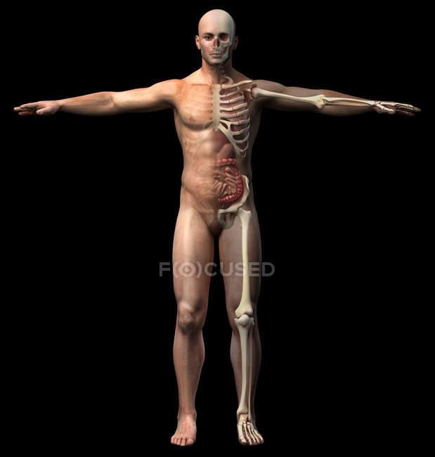 Схема мужской скелета и внутренних органов на черном фоне, вид спереди. — стоковое фото