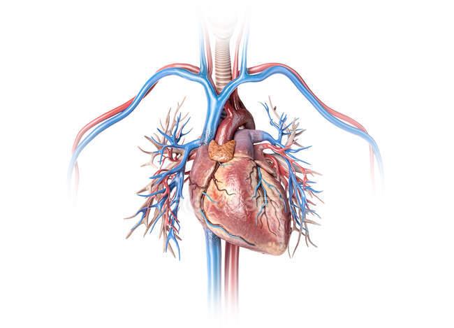 Corazón humano con vasos sanguíneos y árbol bronquial sobre fondo blanco . - foto de stock