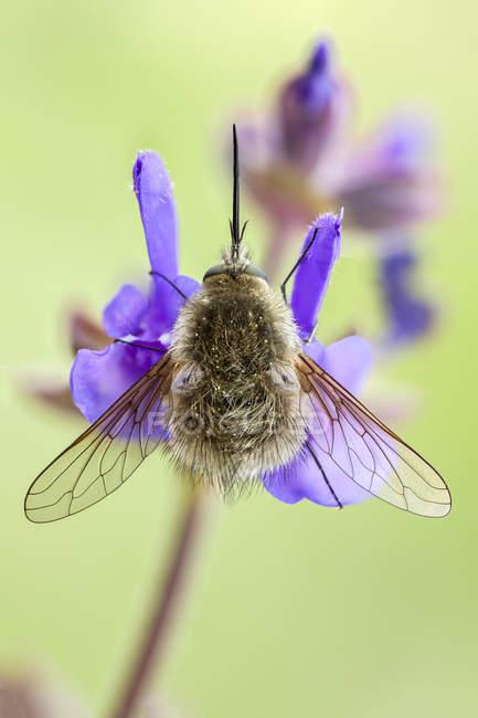 Bee fly sitting on rose rhapsody flower. — Foto stock