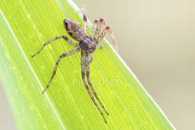 Araignée de crabe de Tmarus au bord de la feuille verte. — Photo de stock