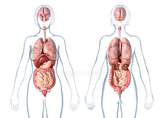 Female anatomy showing internal organs on white background. — Stock Photo