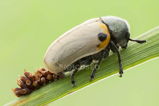 Close-up of leaf beetle laying eggs on blade of grass. — стокове фото