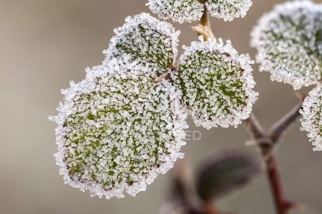 Folhas cor-de-rosa selvagens cobertas por cristais brancos da geada do amanhecer. — Fotografia de Stock