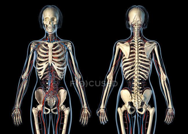 Жіноча Анатомія серцево-судинної системи з скелетом на чорному фоні. — стокове фото