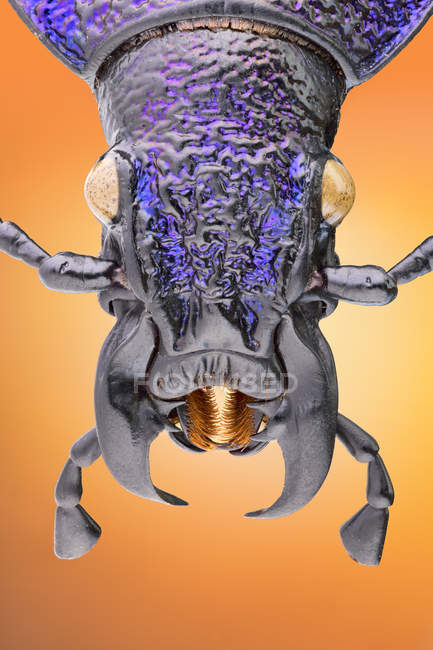 Portrait of purple carabid beetle on orange background. — Photo de stock