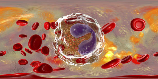 Eosinophil white blood cells in blood vessel, digital illustration showing lobed nuclei. — Stock Photo