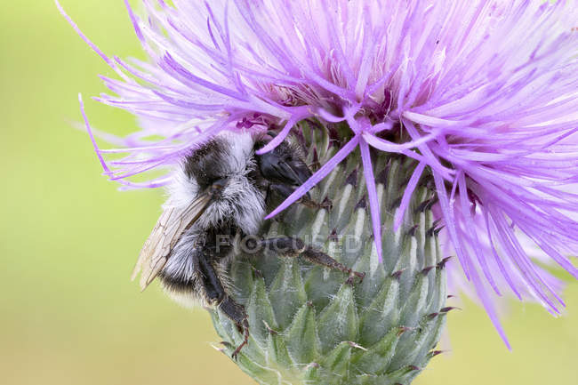 Bumblebee sitting on common thistle wildflower. — Stock Photo
