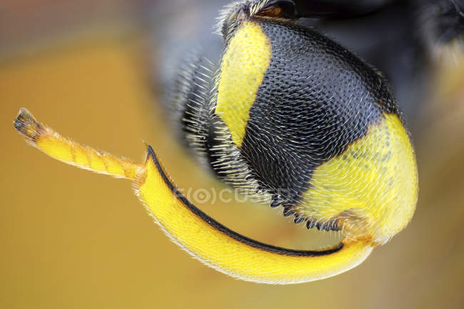 Hindleg detail of parasitic Brachymeria femorata wasp. — Stockfoto