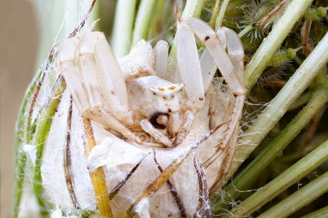 Female crab spider guarding nest outdoors. — Stock Photo