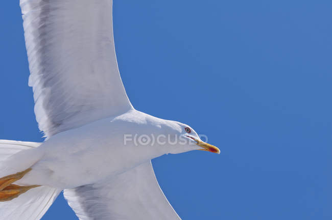 Seagull bird in flight with outstretched wings over sea. - foto de stock